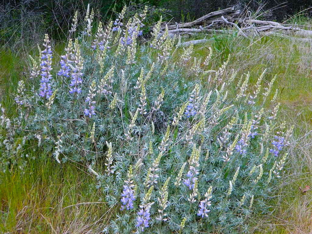 California  Lupine Ranch
